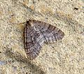 (1799) Winter Moth (Operophtera brumata) - Flickr - Bennyboymothman.jpg