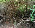 (Lantana camara) trees at IGZoo park 03.JPG