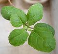 (Ocimum tenuiflorum) Tulasi foliage 02.jpg