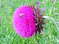 Λουλούδι στον Αλιάκμονα.jpg