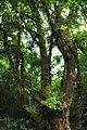 Высокое покрытое мхом дерево рядом с водопадом - panoramio.jpg