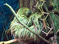 Двупалый ленивец I.jpg