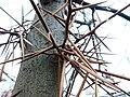 Дерево-колючка 03.JPG
