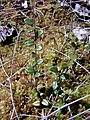 Журавлина на дернині із сфагнуму гостролистого у заказнику Хвощове болото.jpg