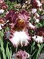 Колекція ірісів в ботанічному саду ТНУ 02.jpg