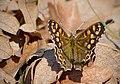 Краеглазка эгерия - Pararge aegeria - Speckled wood - Пъстро парагре - Waldbrettspiel (32067469661).jpg