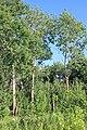 Красносвободские осиновые кусты - 2.jpg