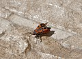 Лигей пятнистый - Black-and-Red-bug - Lygaeus equestris - Ritterwanze (17132878549).jpg