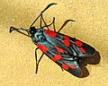 Пестрянка таволговая - Zygaena filipendulae - Six-spot burnet - Зигена (Циганка) - Sechsfleck-Widderchen (37002023061).jpg