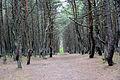 Танцующий лес 02 Куршская коса.jpg