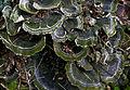 Траметес разноцветный (Трутовик разноцветный) - Trametes versicolor (Coriolus versicolor, Polyporus versicolor) - Turkey tail - Schmetterlings-Tramete (24788191525).jpg