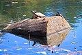 Черепахи греются на весеннем солнце.jpg