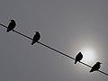 رفتار عجیب سارها بر روی تیرهای برق در اطراف شهر قم، ابتدای فصل زمستان - عکاس. مصطفی معراجی 23.jpg