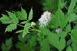 დათვყურძენა Actaea spicata Baneberry.JPG