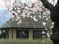 お菓子の里・篠山市茅葺古民家とさくらP4097250.jpg