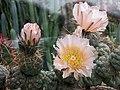 仙人掌-習志野 Tephrocactus geometricus -哥本哈根大學植物園 Copenhagen University Botanical Garden- (36816161671).jpg
