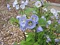 匍匐花蔥 Polemonium reptans -比利時 Ghent University Botanical Garden, Belgium- (9198134297).jpg