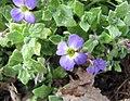 南庭薺(紫芥菜) Aubrieta deltoidea -比利時國家植物園 Belgium National Botanic Garden- (9200909384).jpg