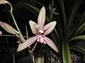 四季養老 Cymbidium ensifolium -香港沙田國蘭展 Shatin Orchid Show, Hong Kong- (12186067984).jpg