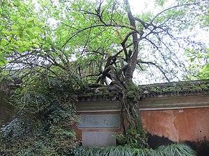 Guoqing Temple - Image: 国清寺隋代梅树 panoramio