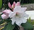 心葉大白杜鵑 Rhododendron decorum ssp cordatum -比利時 Ghent University Botanical Garden, Belgium- (9227098637).jpg