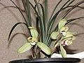 春蘭白梅 Cymbidium goeringii 'White Prune' -香港沙田國蘭展 Shatin Orchid Show, Hong Kong- (12316832483).jpg