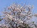 桜 - panoramio (4).jpg
