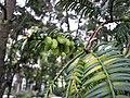 榧樹 Torreya grandis -上海植物園 Shanghai Botanical Garden- (17178428740).jpg