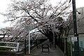 調布市・野川の桜 2010.04.04 8-00 - panoramio.jpg
