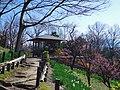 錦織公園にて 梅の里 2013.3.15 - panoramio (4).jpg