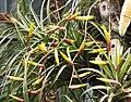鐵蘭屬 Tillandsia schiedeana -上海植物園 Shanghai Botanical Garden- (39615103402).jpg