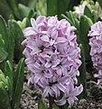 風信子 Hyacinthus orientalis -香港花展 Hong Kong Flower Show- (9200964464).jpg