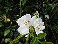 -2020-06-05 Dog rose (Rosa canina) flowers, Trimingham, Norfolk (2).JPG