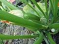 -2020-07-13 Forming fruit, green courgette, Trimingham, Norfolk (1).JPG