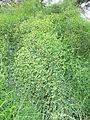 01-14-12-12 Ephedra altissima.JPG
