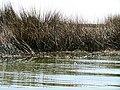 011 Reeds Lake Titicaca Peru 3059 (15158804026).jpg
