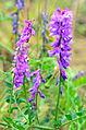 02014.7 Karpaten Blumen, Sanok.JPG