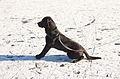 0312 Black Labrador IMG 3629.jpg