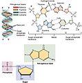 0322 DNA Nucleotides.jpg