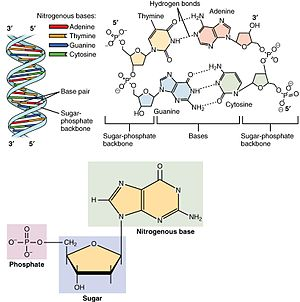 Biochemistry - The structure of deoxyribonucleic acid (DNA), the picture shows the monomers being put together.