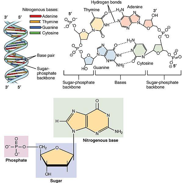File:0322 DNA Nucleotides.jpg