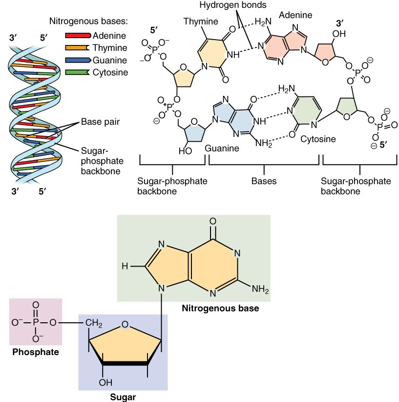 0322 DNA Nucleotides