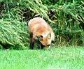 038 Red Fox (8057817000).jpg