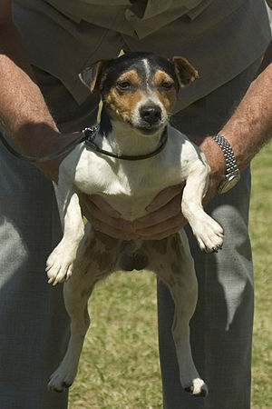 Parson Russell Terrier - A judge spanning a Parson Russell Terrier.