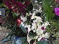 05525jfMidyear Philippine Orchid Show Circle Quezon Cityfvf 27.JPG