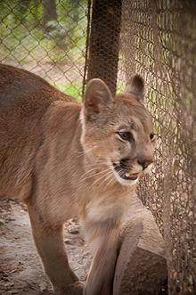 Gracias Destilar Interesante  Puma concolor - Wikipedia, la enciclopedia libre