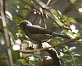 070320 Brown-eared Bulbul Ixos amaurotis squamiceps Q0S3475e - Flickr - Lip Kee.jpg