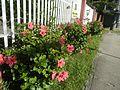 0985jfHibiscus rosa sinensis Linn White Pinkfvf 16.jpg