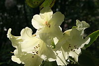 0 Rhododendron - Celles (Hainaut) 1