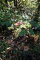 12-10-21 Amanita muscaria 03.jpg